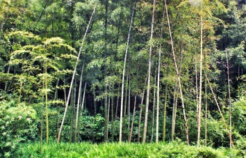 bamboo forests outside hangzhou