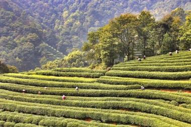 Dragonwell tea fields