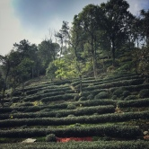 dragon well tea plants